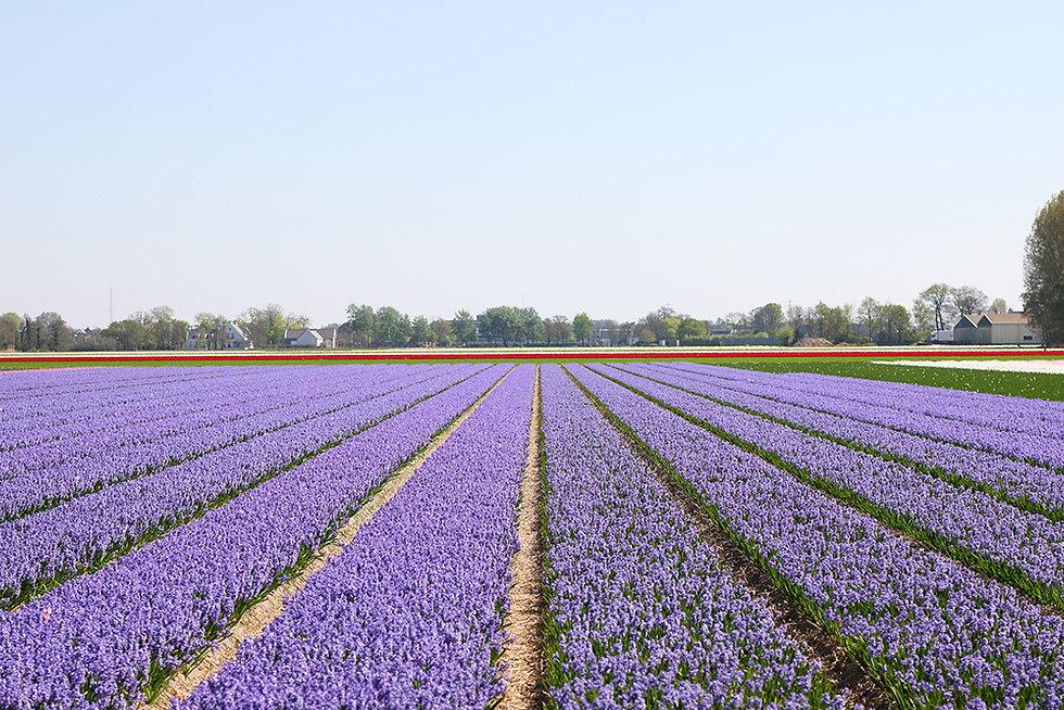 visite-champs-tulipes-lisse-hollande12.j