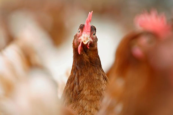 Three Cheers for Chicken!