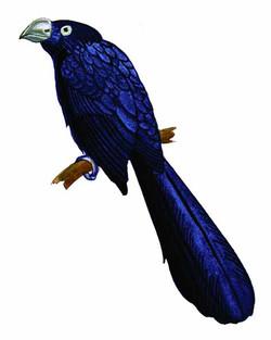 Crotophaga major