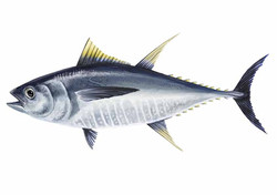 Thunnus albacares