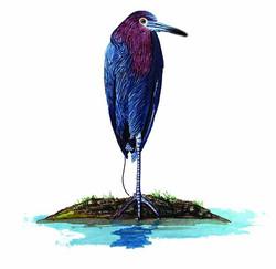 Egretta caerulea