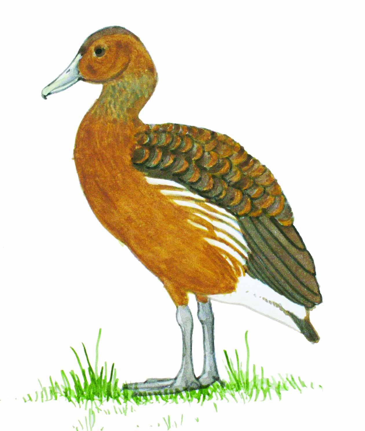 Dendrocygna bicolor