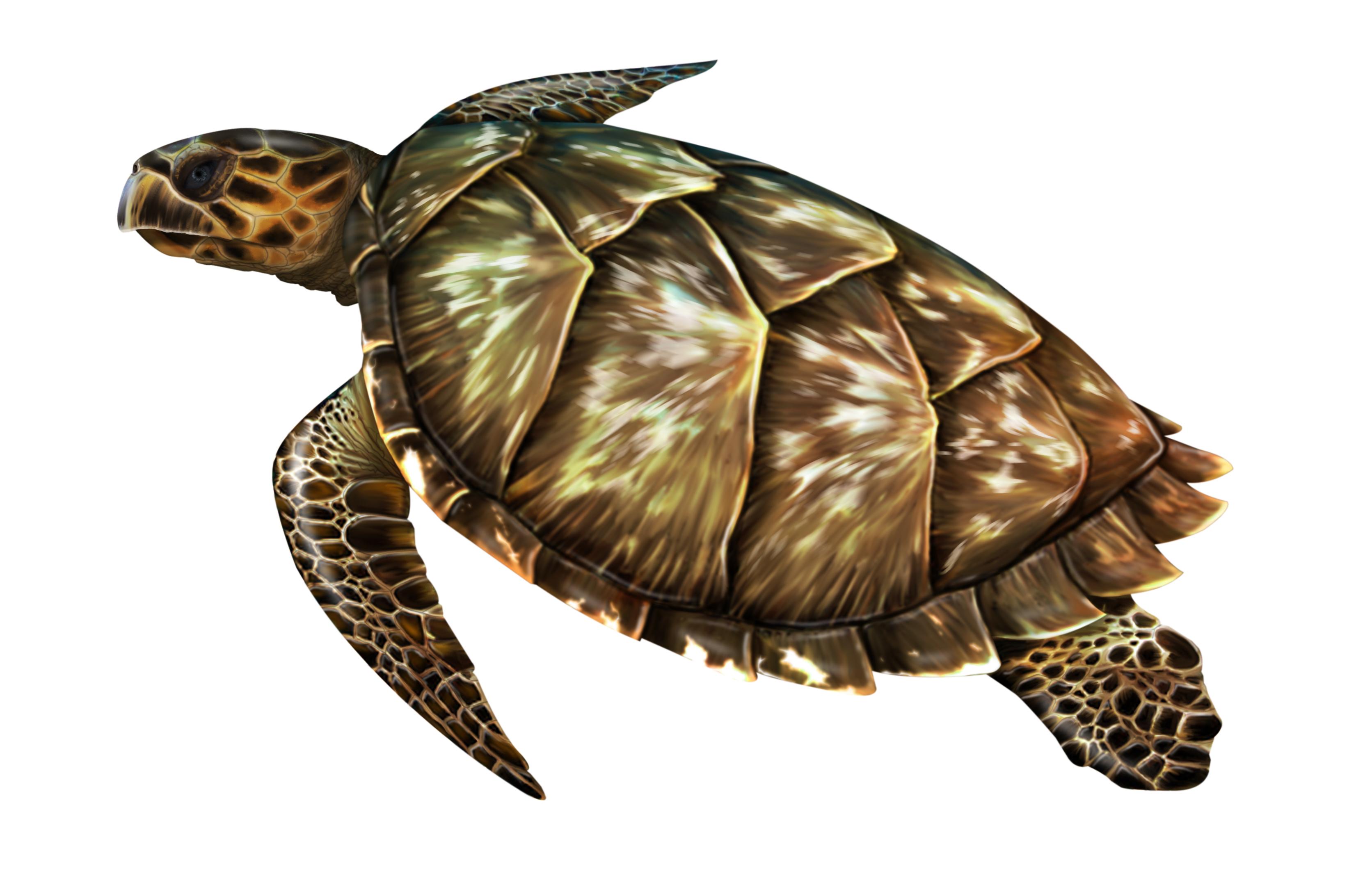 TORTUGA Eretmochelys imbricata