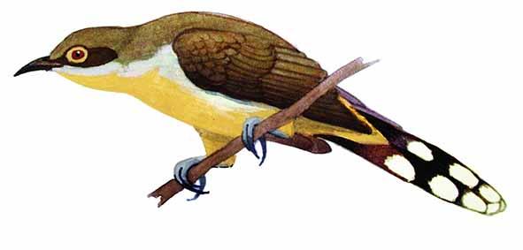 Coccyzus melacoryphus