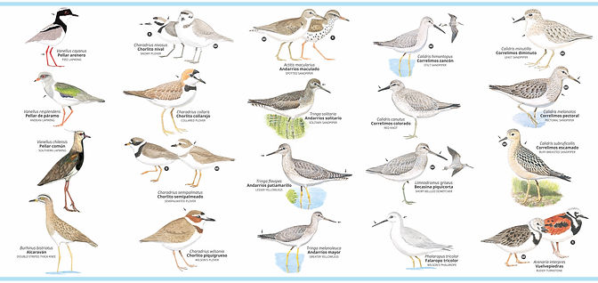 Plegable aves playeras retiro para la pagina web.jpg