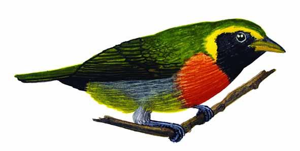 Hemithraupis guira