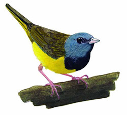 Oporornis philadelphia