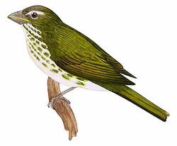 Saltator albicollis