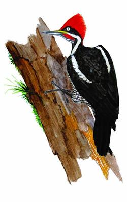 Dryocopus lineatus