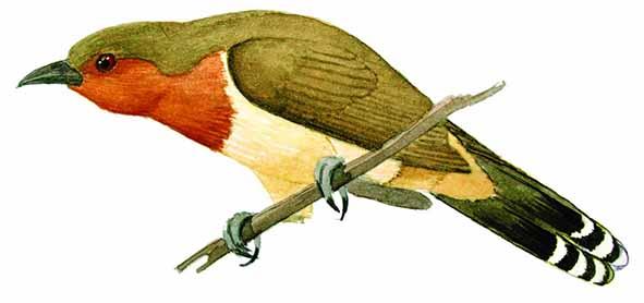 Coccyzus pumilus