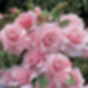 pink-roses-to-meditate-while-reciting-joyful-mystery-of-the-rosaries-pamphlets-to-inspire