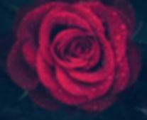 rose-3407234_640_edited.jpg