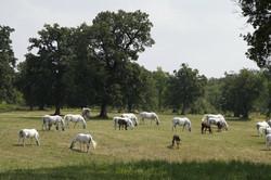 Lipizzan Horses, Lipica