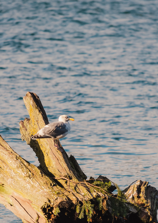 seagull on a stump floating in the water