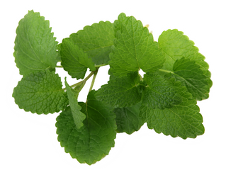 Ask an Aromatherapist: My Aunt is Allergic to Menthol, Would Mentha arvensis (Corn Mint) be a Good A