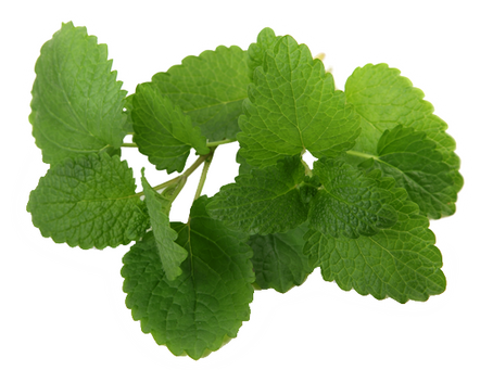 Medicinal Herb Profile: Lemon Balm