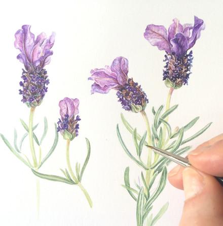 Spanish Lavender.JPG