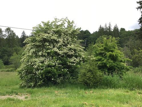 Hawthorn Leaf & Flower Field Day: May 17th