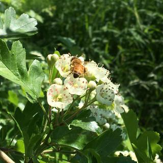 Bee on Haw