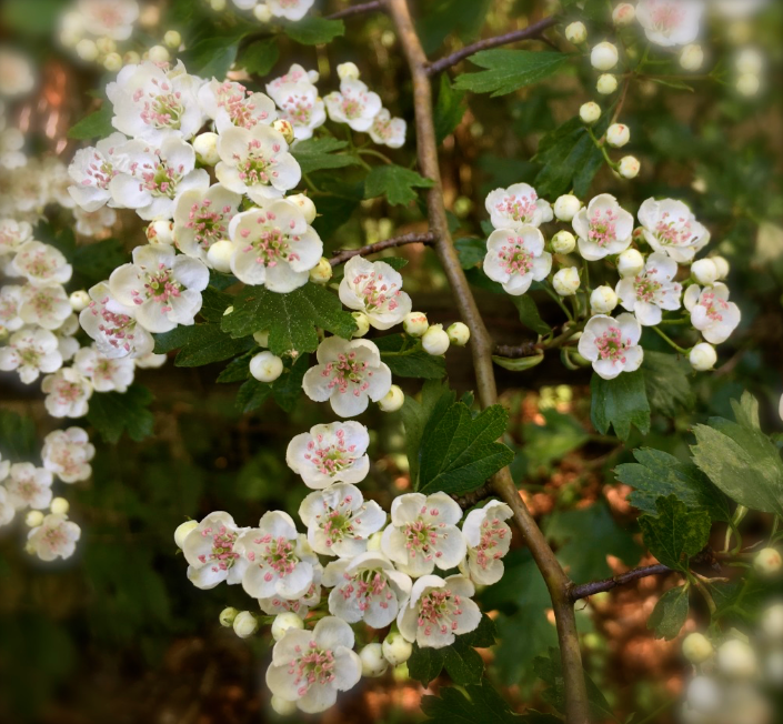 hawthorn blooms