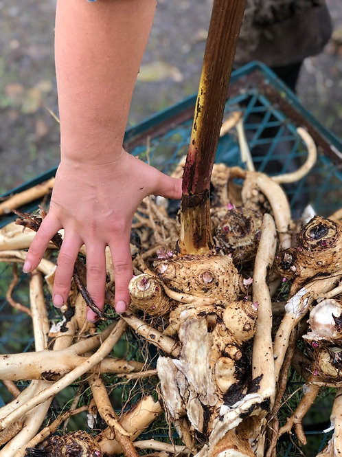 Hands-On Herbs Roots & Seeds, elecampane, comfrey dandelion