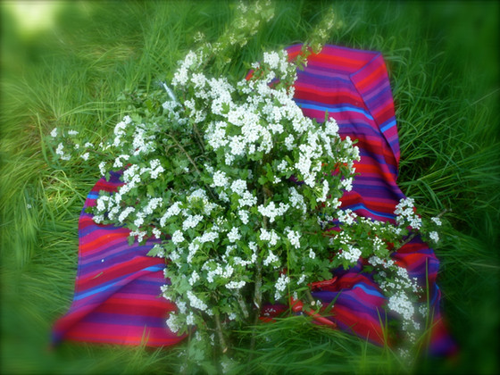 Hawthorn Flower & Leaf Harvest & Drying
