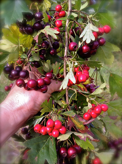 Hands-On Herbs Heart health, hawthorn, circulation, ginger,