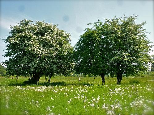 Hawthorn: Leaf & Flower Field Day: May 8th