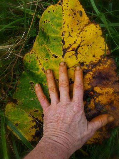 Cottonwood leaf & hand