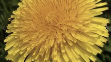 Dandelion Wine: Tonic Elixer