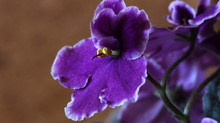 On African Violets and Messy Growth
