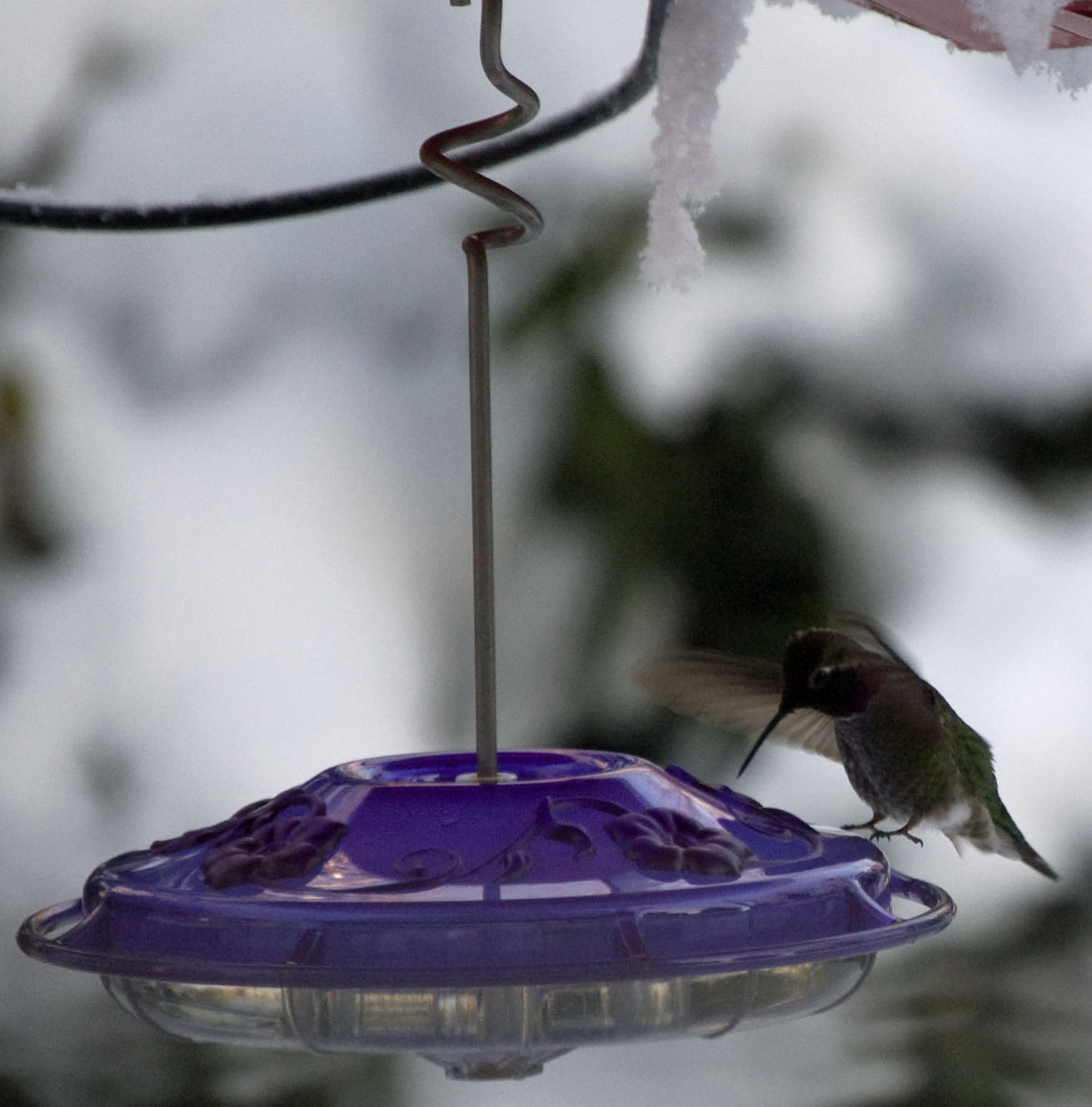 Anna Hummingbird in Winter