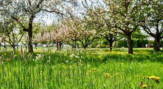 Blumenwiese Streuobstwiese