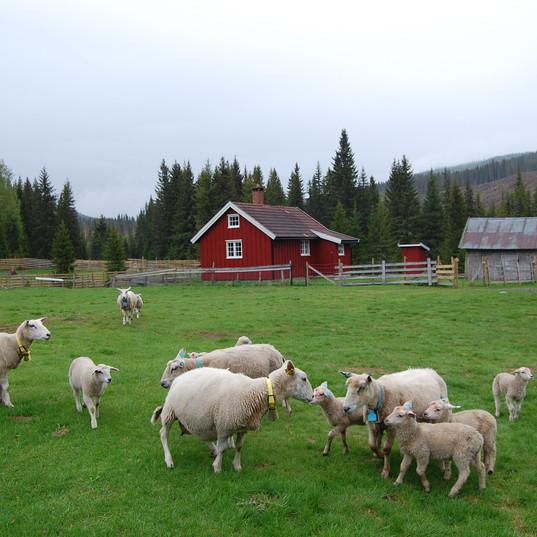 Beitedyr i Sør-Helgedalen