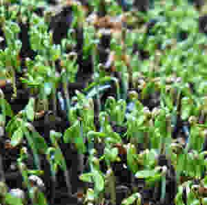 Cress, Kresse, Was pflanzen im winter, winterernte, wintersaatgut, urbanroots, urban roots, keimling, saatgut, bio samen, grossblättrige gartenkresse