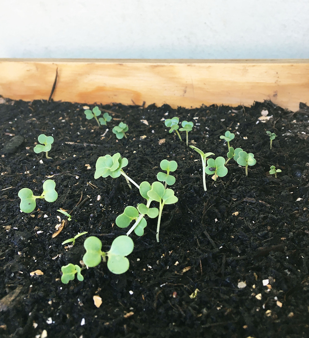 Keimlinge, growing from seed, bio samen, pakchoi säen