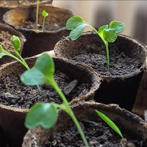 Was bedeutet Pflanzen vorziehen?