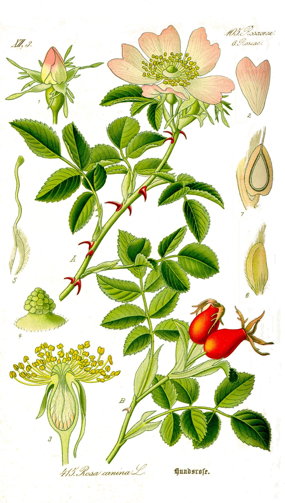 Illustration Rosa canina