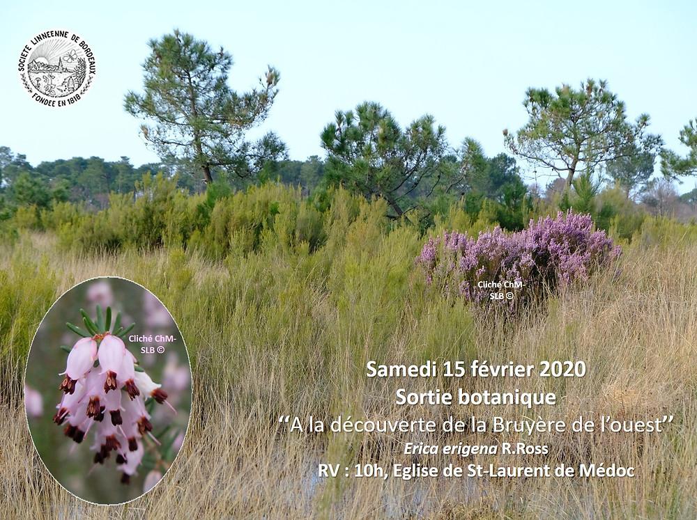Sortie botanique 15 février 2020 ; àa la découverte de la Bruyère de l'ouest, RDV 10h église de Saint-Laurent-de-Médoc