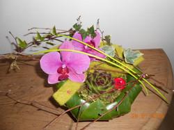 Culbutos de phalaenopsis