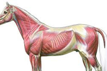 Muscular Anatomy Review