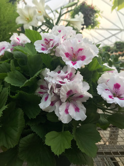Regal Geranium- Martha Washington
