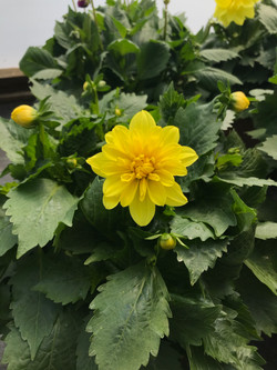 Dahlia- Yellow