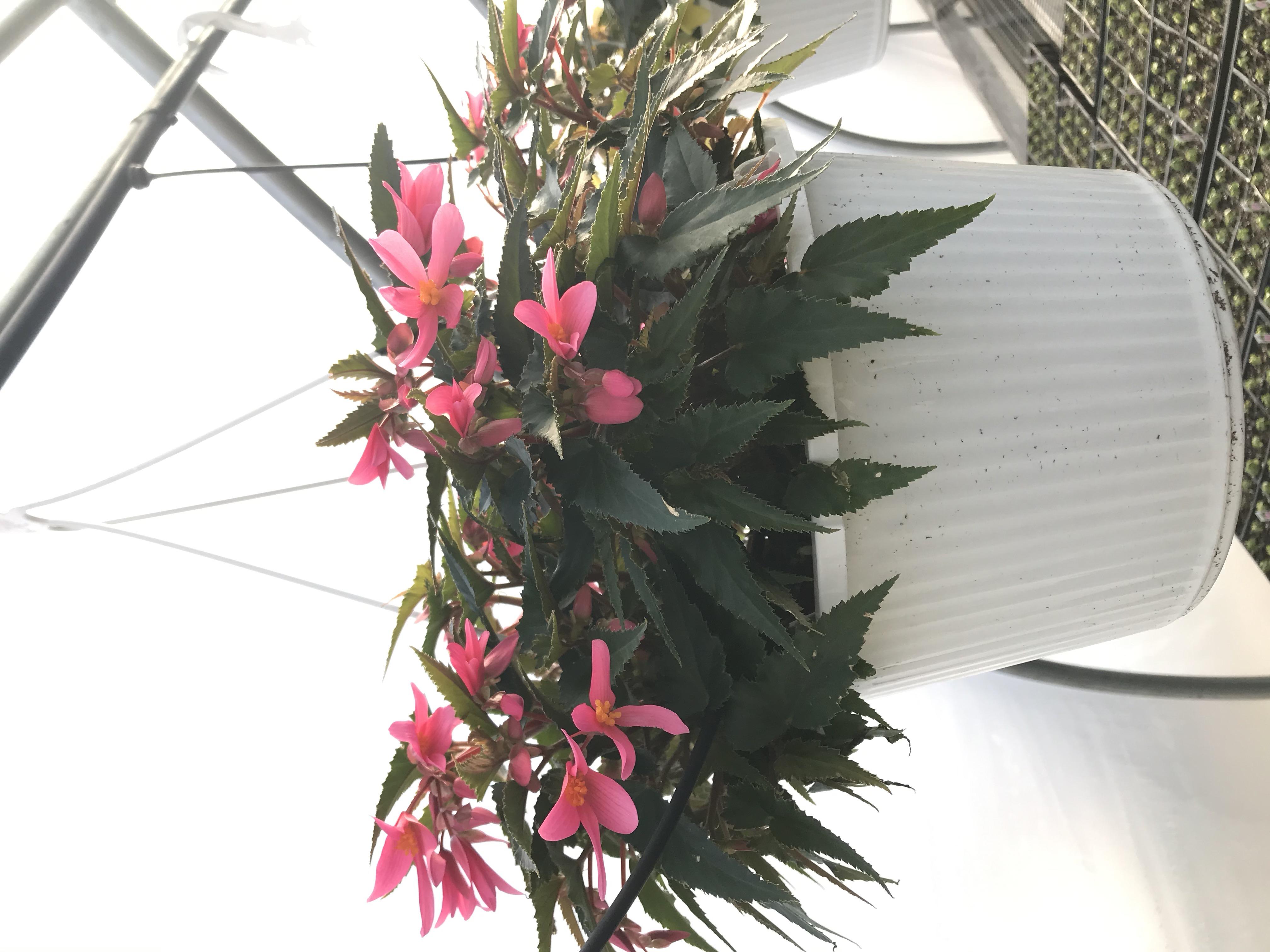 Begonia- Pink- single flower
