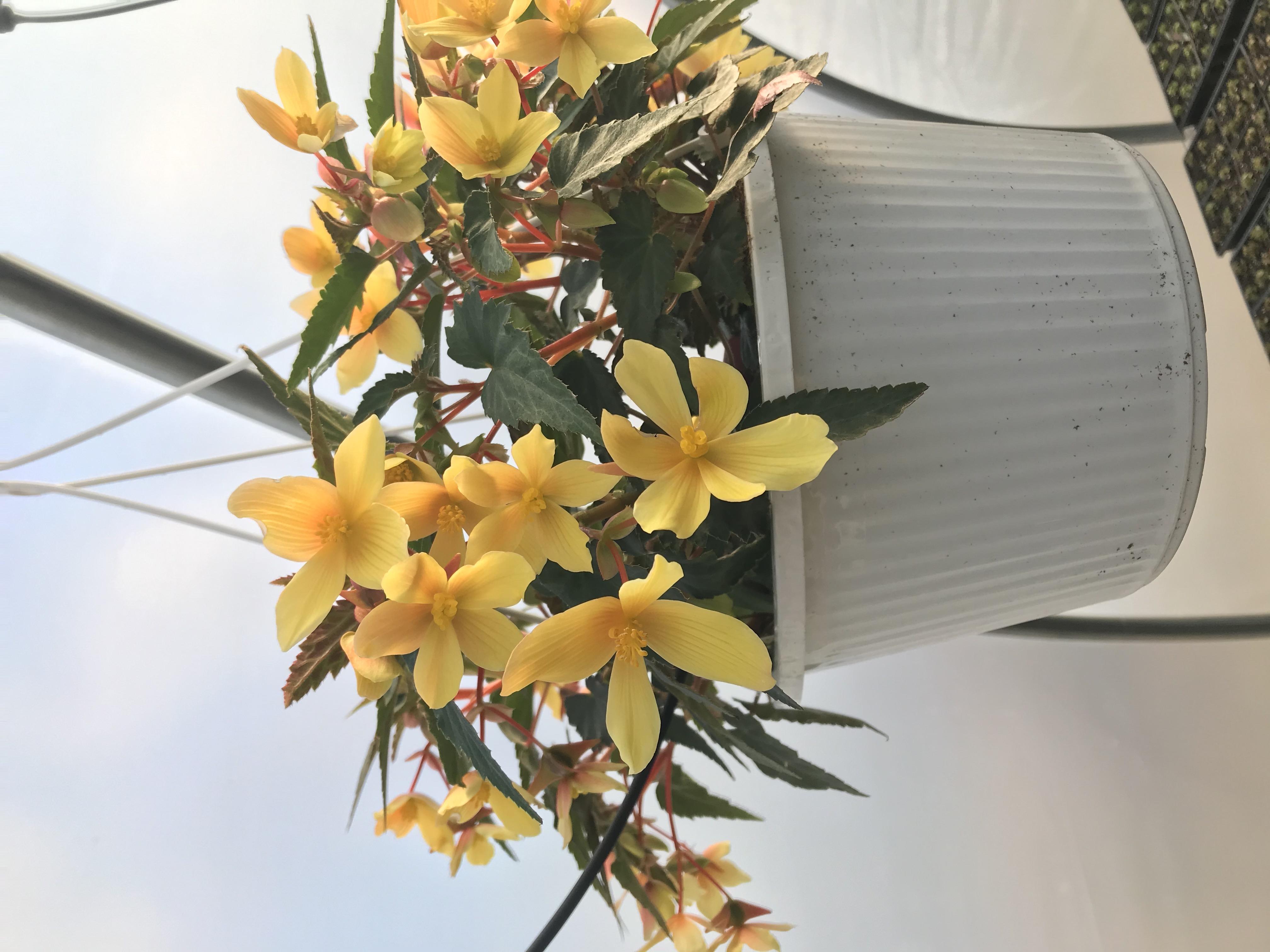 Begonia- Yellow- single flower
