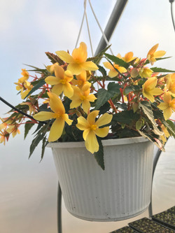 Begonia- Yellow- single flower