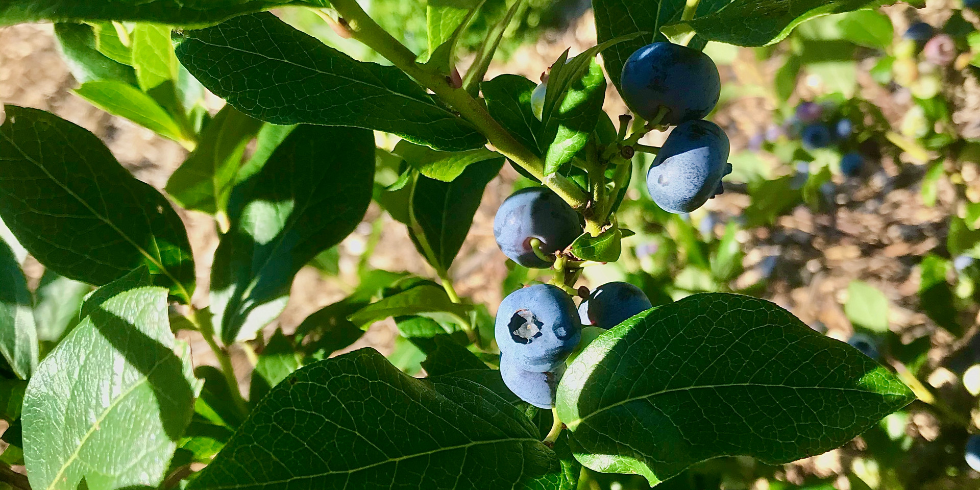 Just one of our blueberry bushes