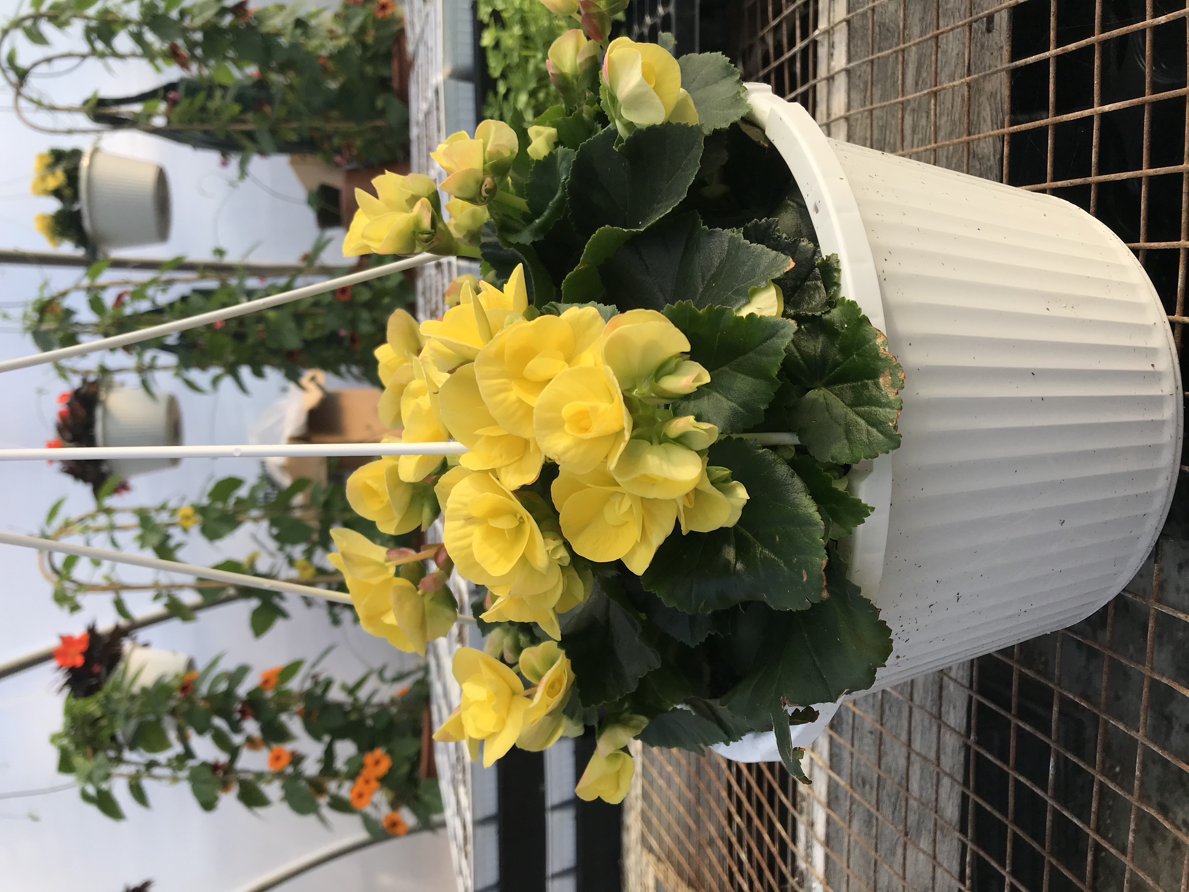 Begonia-yellow-double flower
