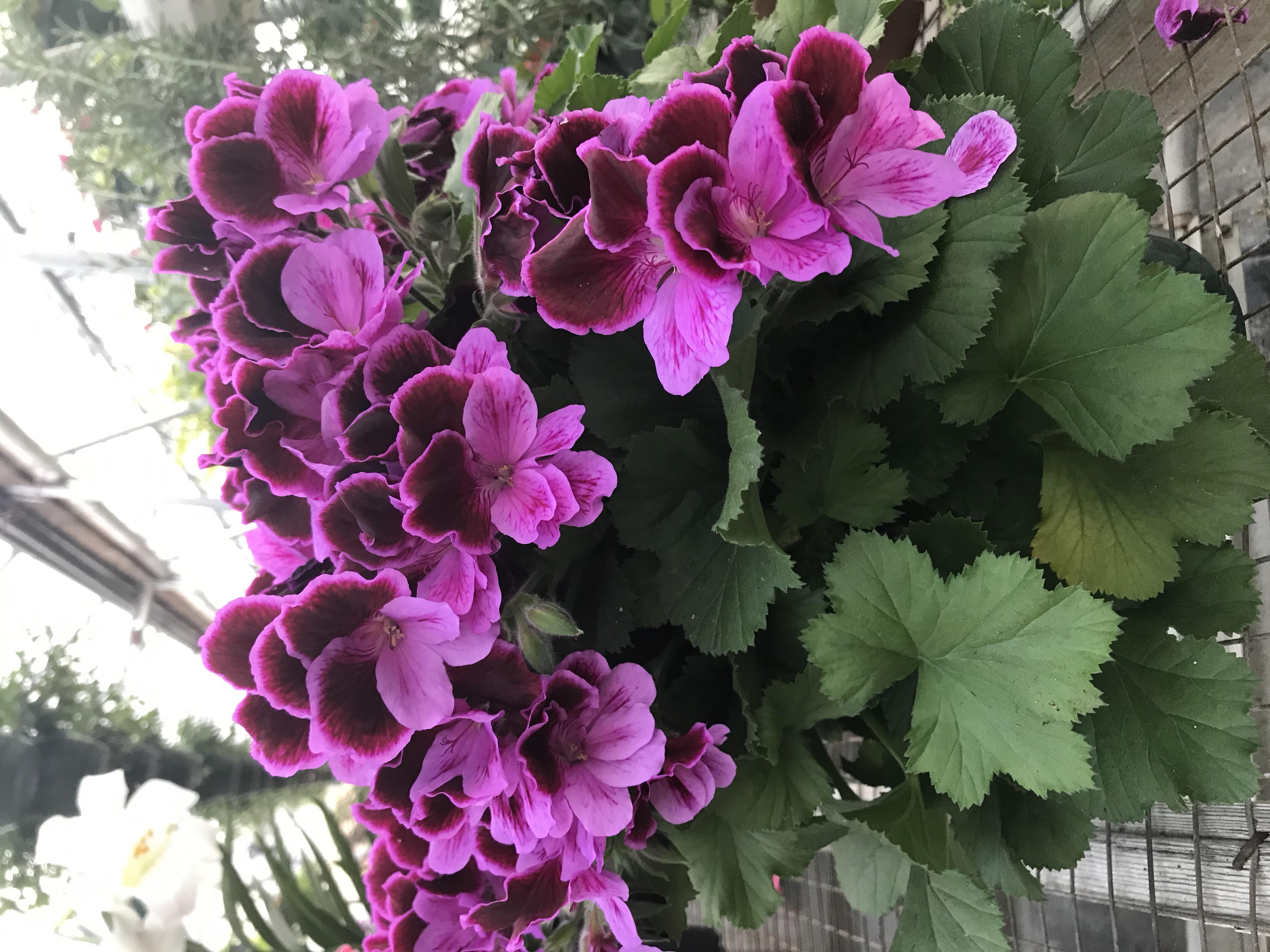 Regal Geranium- Martha Washington