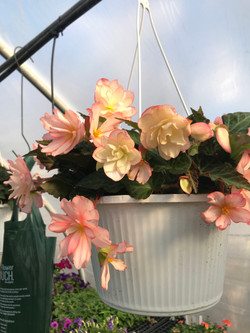 Begonia- Pink-double flower